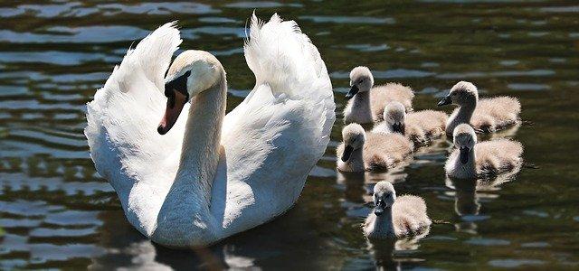 familia cisne