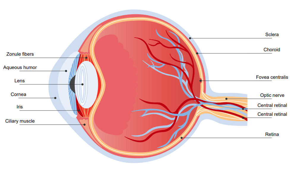 Structure of an Eye