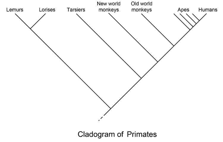 Cladogram of Primates