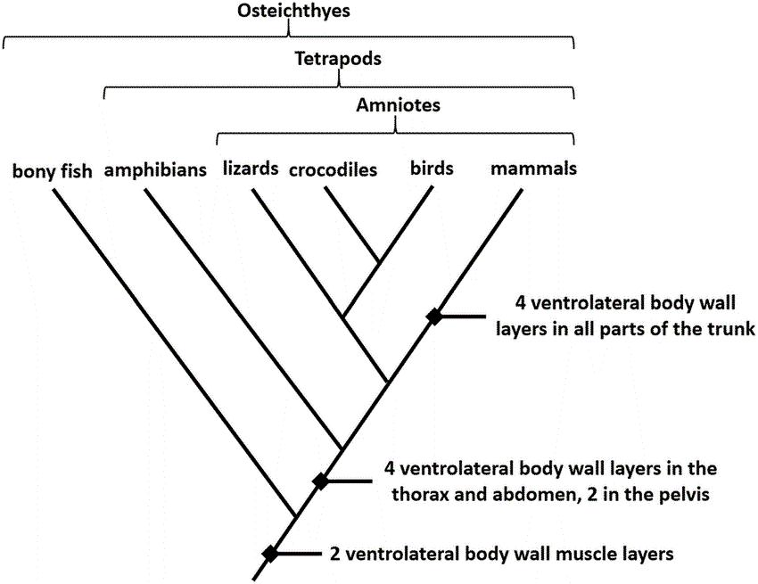 Cladogram of Vertebrae