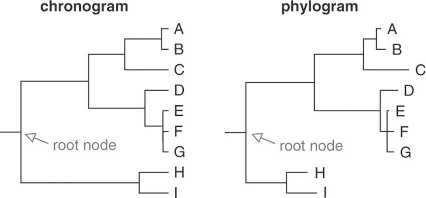 Chronogram and phylogram