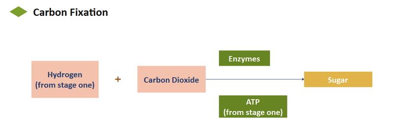 Organigramme de la photosynthèse