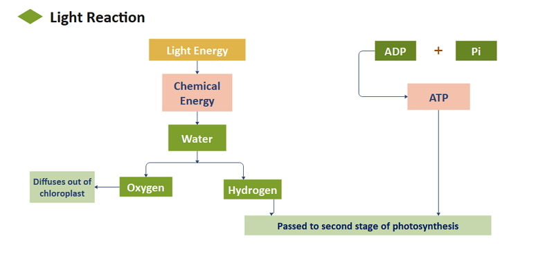 Organigramme Photosynthèse